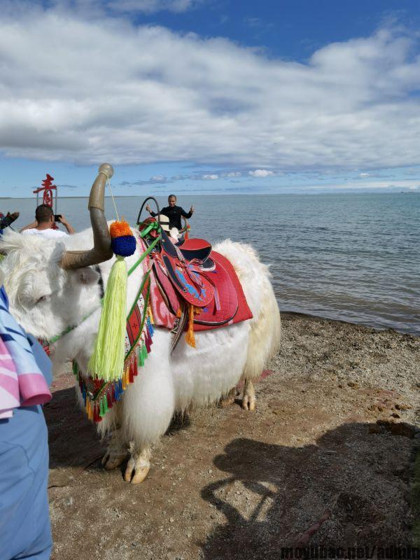 青海湖畔骑牦牛