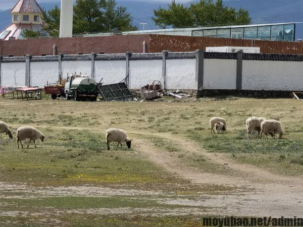 青海湖附近的羊群